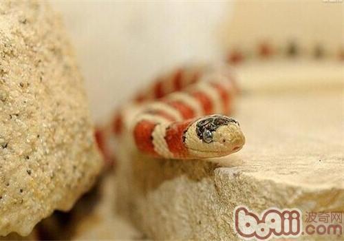 山王蛇的喂食要点
