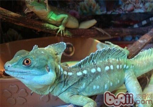 双冠蜥的形态特征