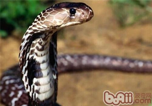 森林眼镜蛇的生活环境
