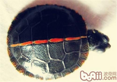 红纹锦龟的品种简介