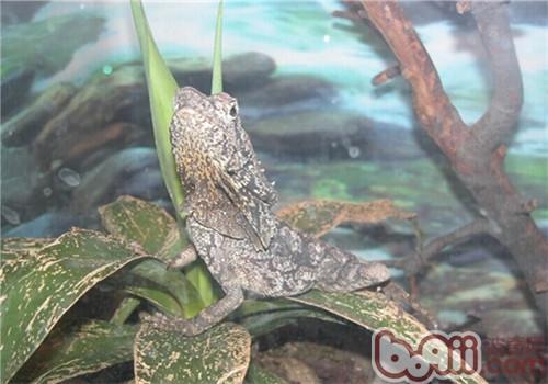 伞蜥的形态特征