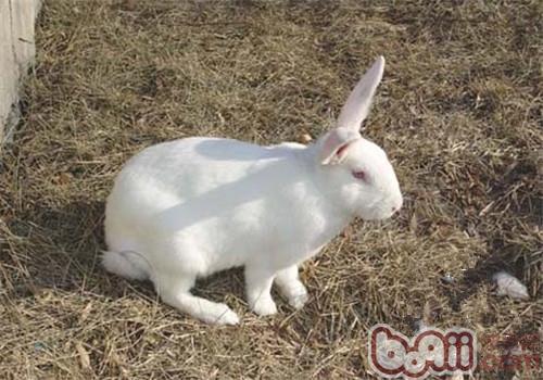 中文学名:日本大耳兔 别名:日本大白兔 界:动物界 门:脊索动物门 纲