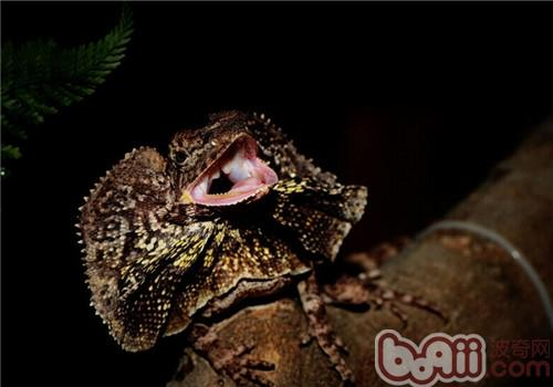 lizard,fnilled dragon),顾名思义它的外形酷似一把雨伞,尾巴细长像伞