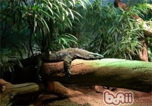 树巨蜥的喂食要点