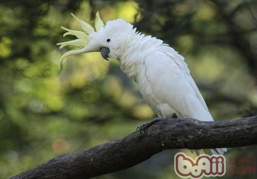 小葵花凤头鹦鹉形态特征