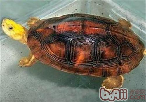 金头闭壳龟的生活环境