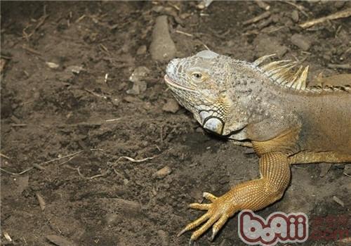 沙漠巨蜥的饲养知识
