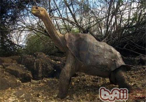 加拉帕戈斯象龟的外观特征