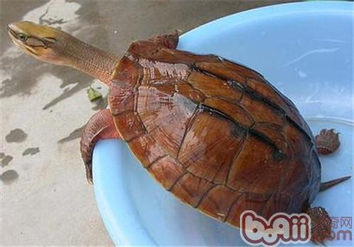 金钱龟的外貌特征