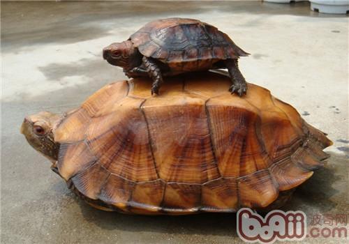 锯缘摄龟的食物选择