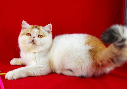 加菲猫吃什么猫粮好
