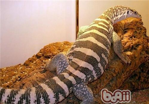 砂巨蜥的喂食要点