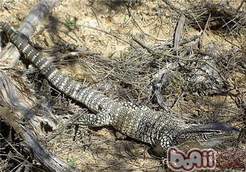砂巨蜥的生活环境
