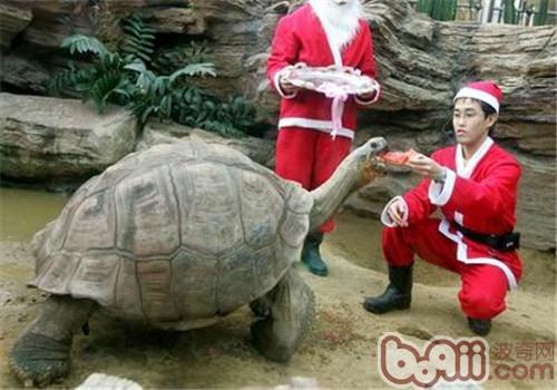 加拉帕戈斯象龟吃什么?