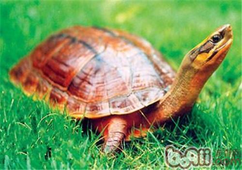 金钱龟的环境要求