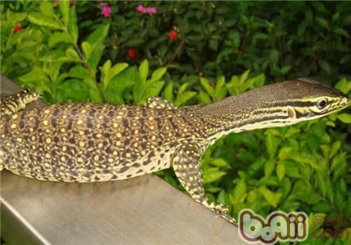 砂巨蜥的饲养知识