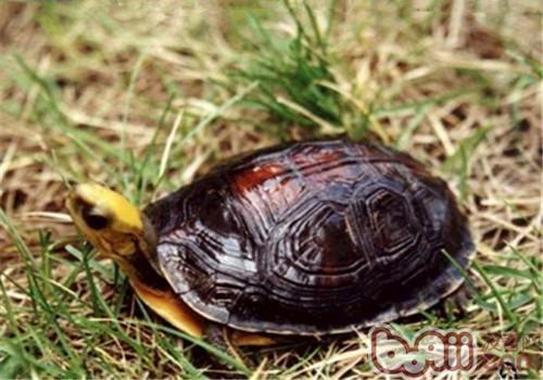 金头闭壳龟的护理知识