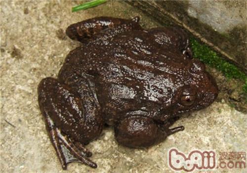 石蛙的形态特征