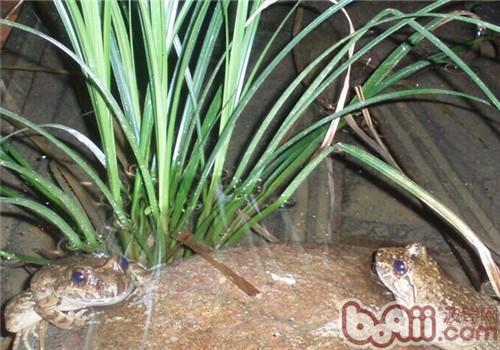 石蛙的品种简介