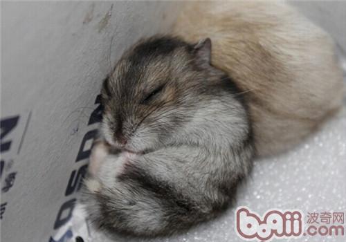 三线仓鼠的品种简介