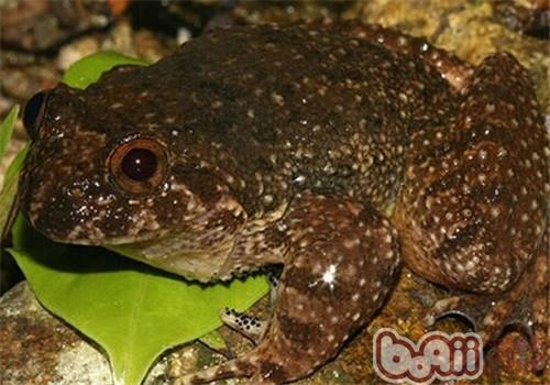 石蛙的饲养知识