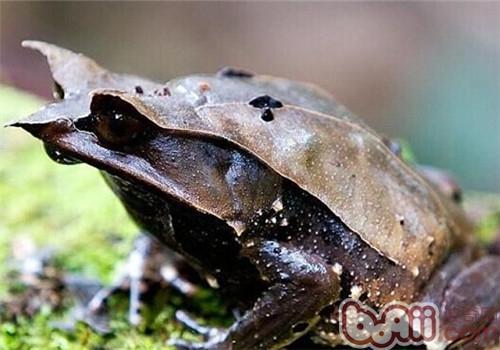 三角枯叶蛙的生活环境