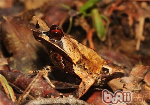 三角枯叶蛙的形态特征