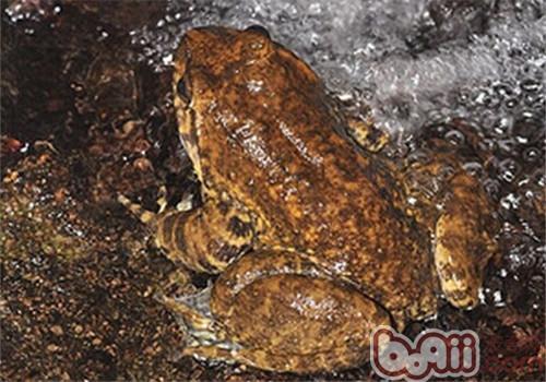 石蛙的生活环境