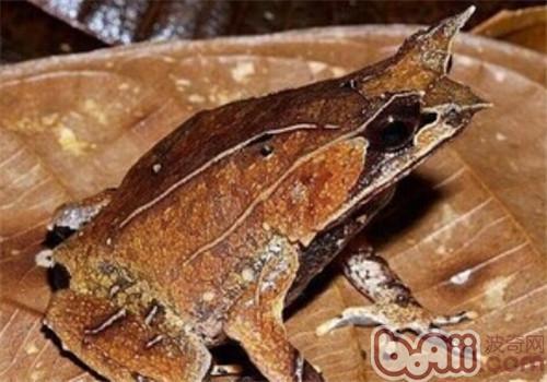 三角枯叶蛙的品种简介