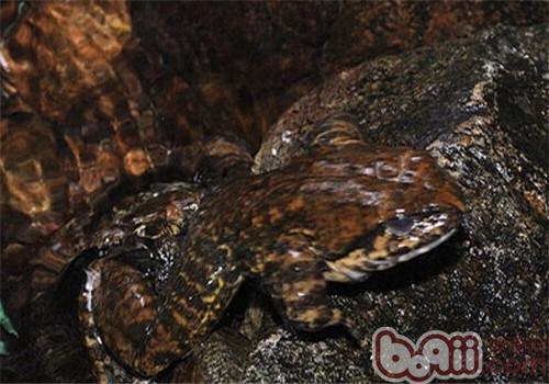 石蛙的喂食要点