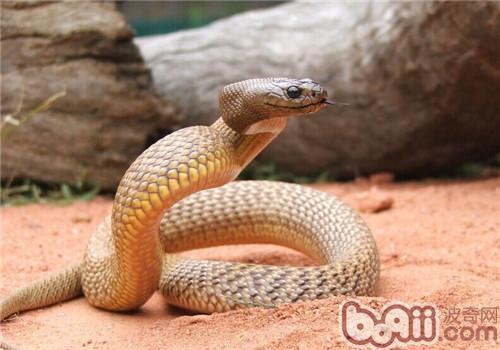太攀蛇的品种简介