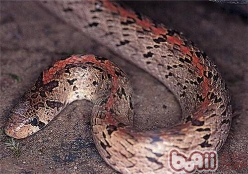 台湾小头蛇的品种简介