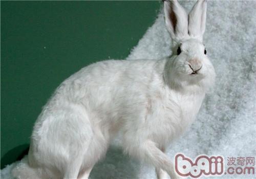 雪兔,雪兔价格,雪兔多少钱一只