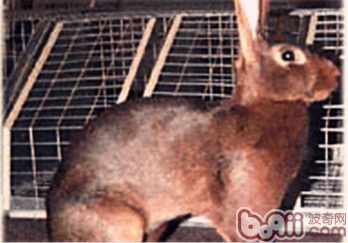 英种小型兔的品种简介