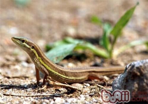 台湾草蜥的生活环境