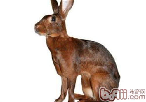 英种小型兔的形态特征