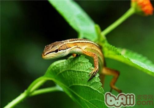 台湾草蜥的形态特征