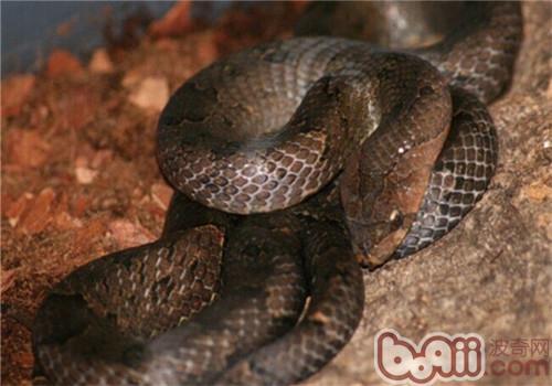 台湾小头蛇的饲养知识