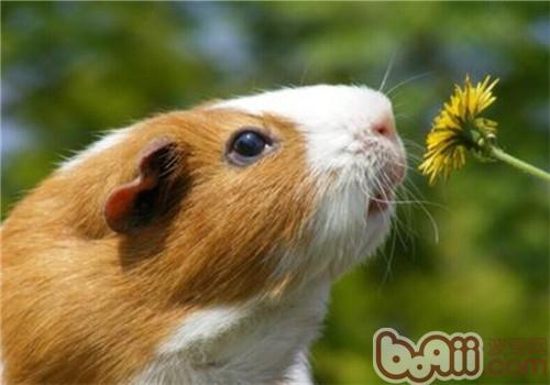 天竺鼠好养吗_天竺鼠,天竺鼠价格,天竺鼠多少钱一只,天竺鼠好养吗