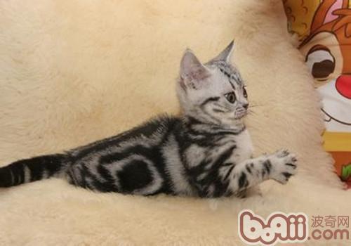 饲养美国短毛猫注意事项有哪些