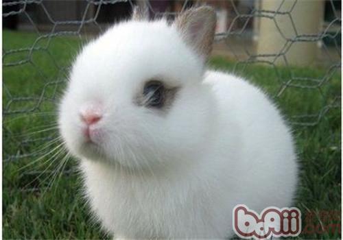 侏儒海棠兔的生活环境