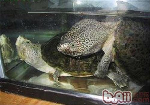 巨头麝香龟的品种简介