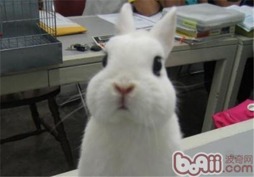 侏儒海棠兔的外觀特征