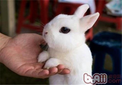 侏儒海棠兔的品种简介