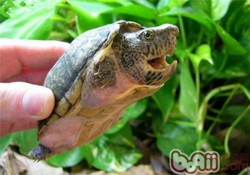 巨头麝香龟的生活环境