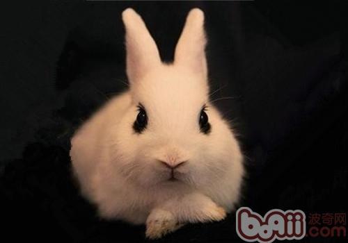 侏儒海棠兔的食物选择