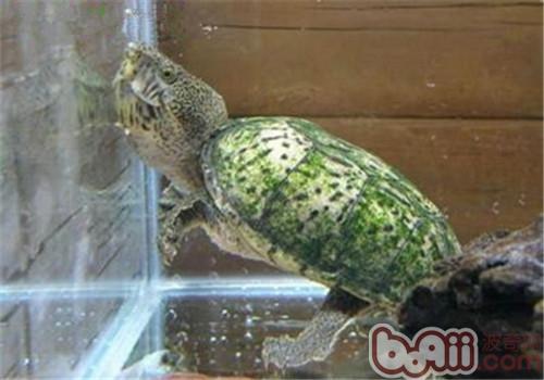 巨头麝香龟的外观特征
