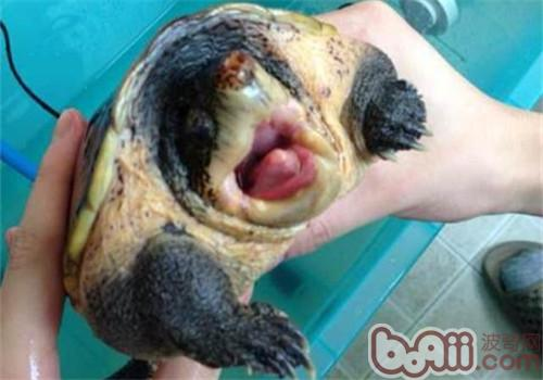 巨型麝香龟的饲养要点