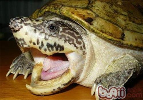 巨型麝香龟的品种简介