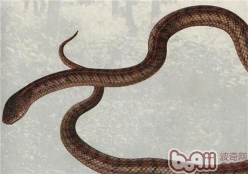 温泉蛇的形态特征